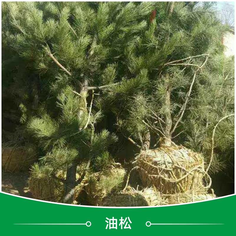 承德油松种植基地 绿化苗木油松 耐寒耐寒常绿油松小苗 工程绿化油
