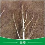 河北白桦批发 小区绿化苗 白桦小苗 丛生白桦 各种规格白桦小苗