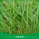 马尼拉草 海南马尼拉草批发 马尼拉草皮草坪 马尼拉草草皮