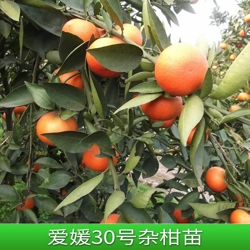 爱媛30号杂柑苗 高糖红色甜桔苗  地栽桔子树苗 盆栽橘子树苗