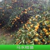 广西柑橘苗定点培育基地-黄金柑苗品种纯正_根系发达_耐寒耐冻- 柑橘苗批发