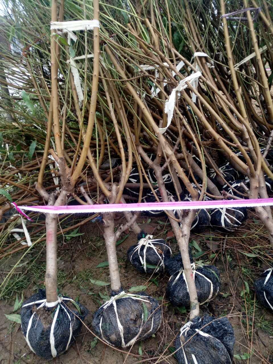 树盘灌水法,围绕树绕树干,做      一个圆形或方形水盘,范围要比树冠