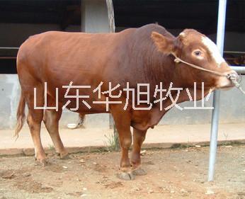 供应 临汾养殖业华旭养殖基地肉牛,肉驴,肉羊