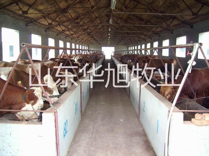 供应大量出售肉牛种牛肉牛犊,西门塔尔牛,鲁西黄牛,利木赞牛