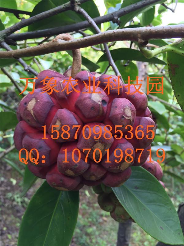 种植_种植供货商_供应贵州特色水果布福蔓种