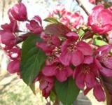 美国红枫品种与其叶子颜色的关系