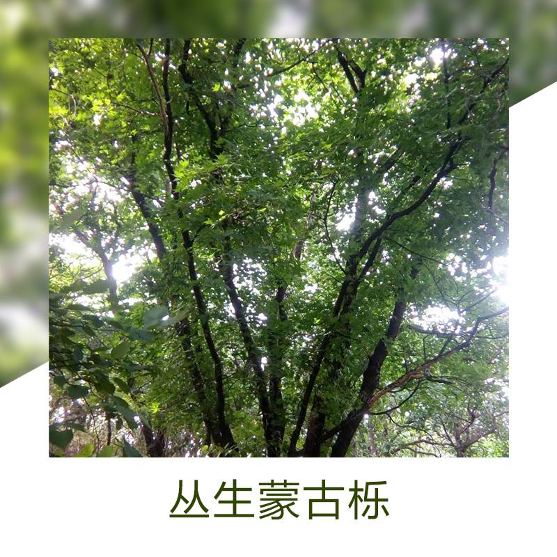 丛生蒙古栎销售