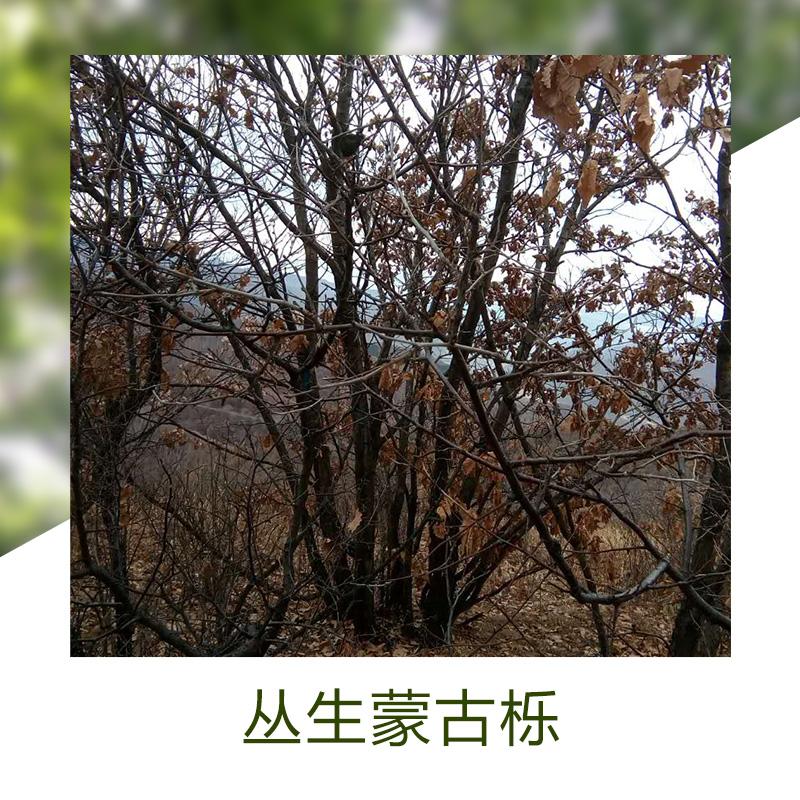 平顶山丛生蒙古栎销售销售