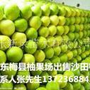 批发梅州批发梅州沙田柚果园直卖有机水果柚子有机水果柚子