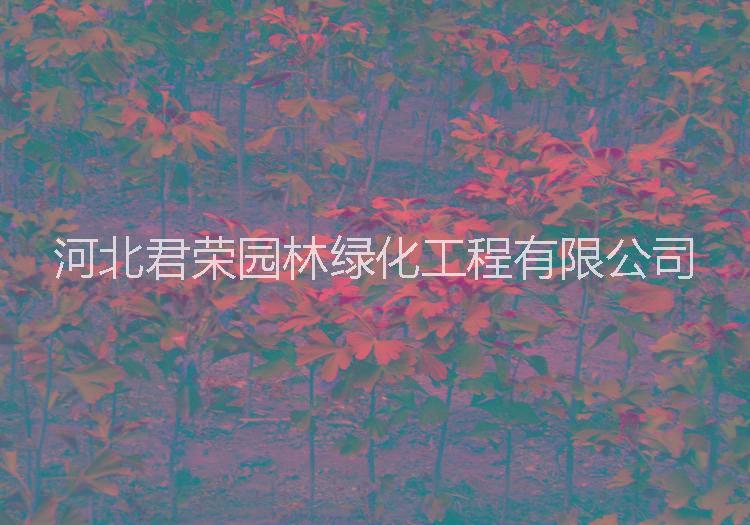君荣基地长期供应1-3公分银杏小苗