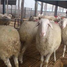 供应小尾寒羊 小尾寒羊羔羊价格 , 供应小尾寒羊 ,小尾寒羊羔羊价格图片