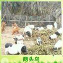 华中两头乌猪 江南土猪早熟易肥两头乌小型肉用赣西/东山猪