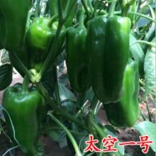科尔种业供应太空一号长方椒品种太空椒种子批发