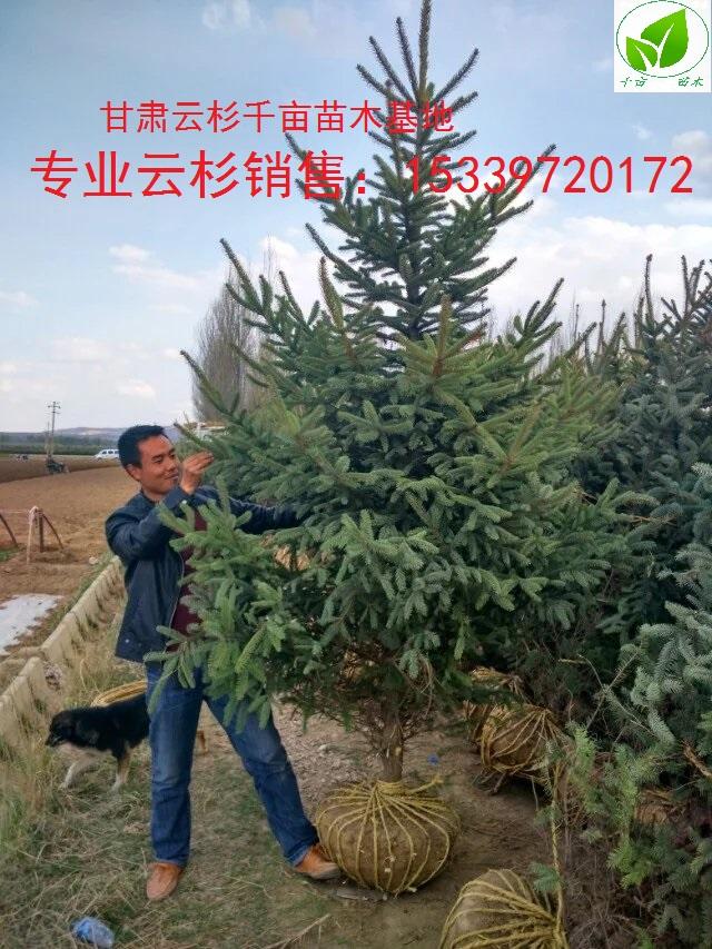 甘肃1米1.2米2米3米4米,甘肃云杉价格、云杉、西北云杉树苗