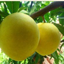 炎陵锦绣黄桃批发价格  优质国产水果锦绣黄桃基地
