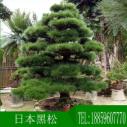 厂家批发日本造型黑松别墅绿化工程用造型乔木精品产地福建漳州