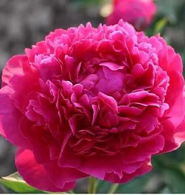 芍药 鲜切花图片/芍药 鲜切花样板图 (4)