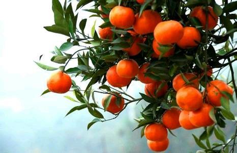 厂家大量批发  东方红桔子树苗红橘子 正宗世纪红桔树苗 柑橘苗抗寒耐冻高产
