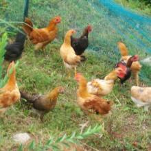 厂家专业养殖安徽土鸡批发