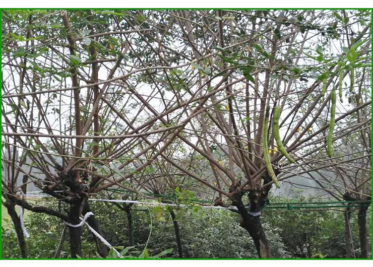 四川黄花槐种植基地,南充黄花槐批发采购,优质黄花槐树苗供应