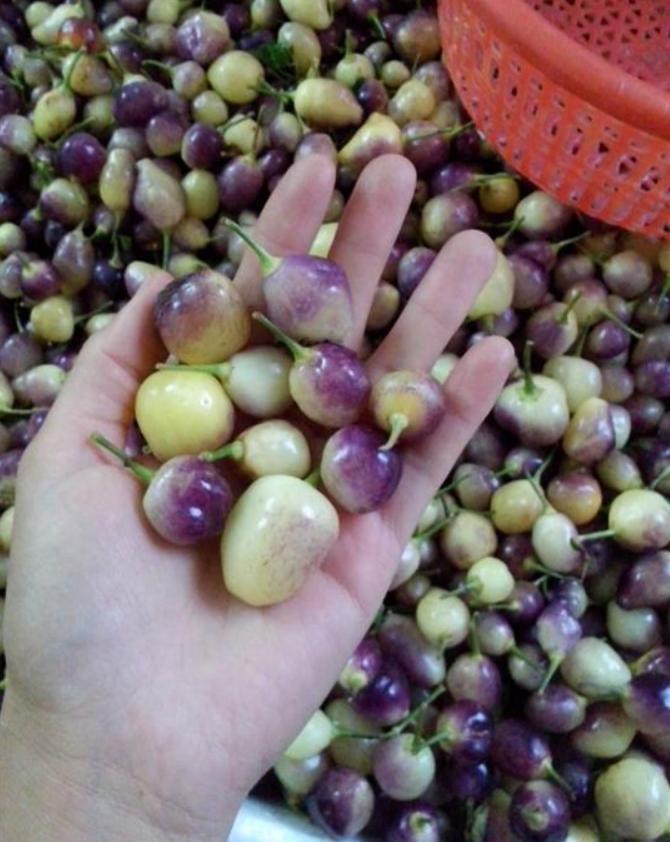 厂家大量销售容县五彩泡椒基地、容县七彩泡椒