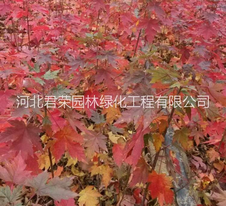 河北苗木基地供应1-3公分秋火焰