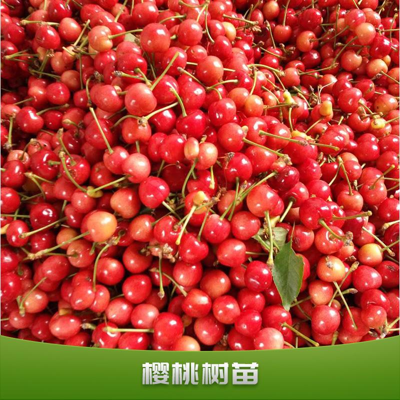 樱桃树苗出售果树苗批发嫁接红灯樱桃树苗南北方栽植盆栽车厘子苗