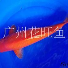 观赏鱼全红火鲤银鳞火鲤25公分精选风水鱼批发零售全国包活