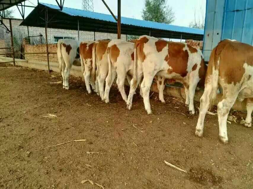 云南西门塔尔肉牛报价,西门塔尔牛供应商,西门塔尔牛价格