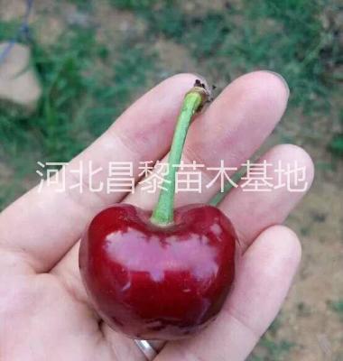 北京樱桃苗图片/北京樱桃苗样板图 (2)