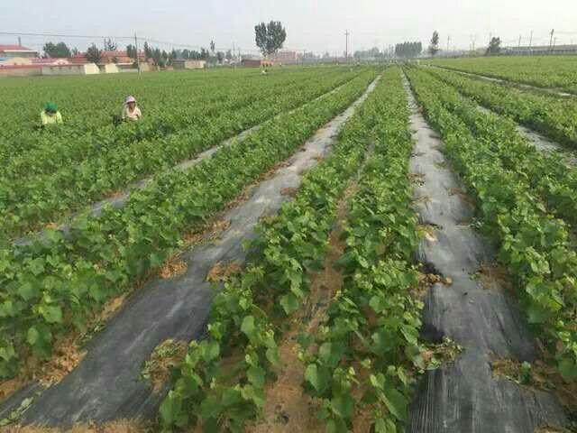 内蒙古苹果树苗供应苹果供应 内蒙古苹果树苗基地 供应优质苹果树