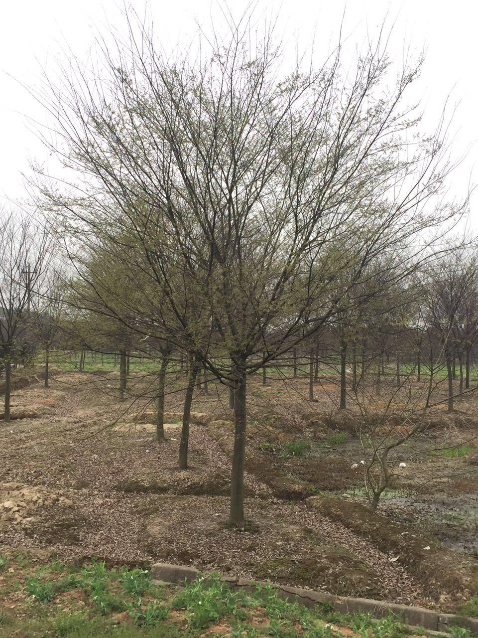 浙江榉树批发价格  榉树苗木供应商 易存活