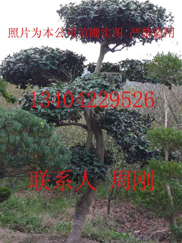 造型枸骨、造型景观树种植基地、造型花木、景观绿化工程