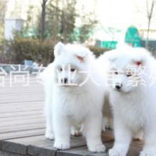 纯种精品萨摩犬出售 微笑天使萨 纯种精品萨摩犬出售微笑使萨摩耶