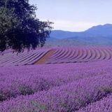 蓝色薰衣草批发供应 大型种植基地直销  万方花卉苗木欢迎您