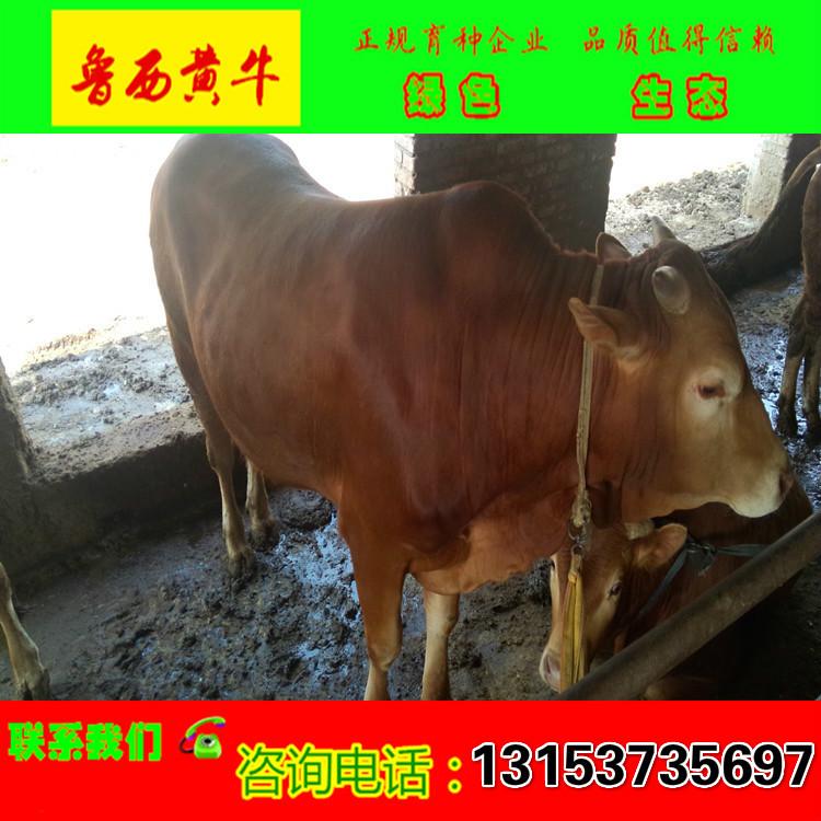 中国肉牛网.中国:中国牛肉牛市/肉牛犊品种销售/肉牛的养殖技术