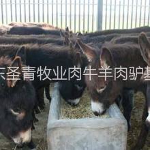 供应德州肉驴、育肥牛犊、鲁西黄牛、改良牛、波尔山羊波尔山羊鲁西黄牛批发