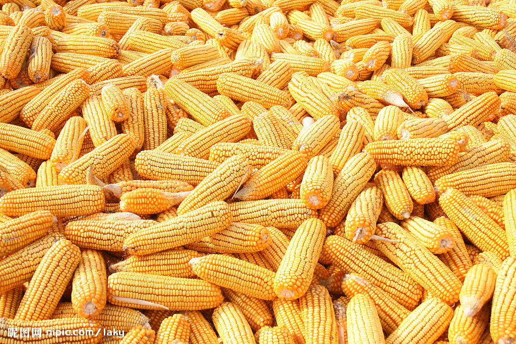 大量求购玉米、小麦、大豆等饲料原