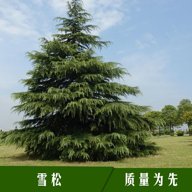 绿缘花木基地雪松 常绿乔木观赏植物多年生香柏树苗/雪松苗木批发