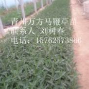 马鞭草苗图片