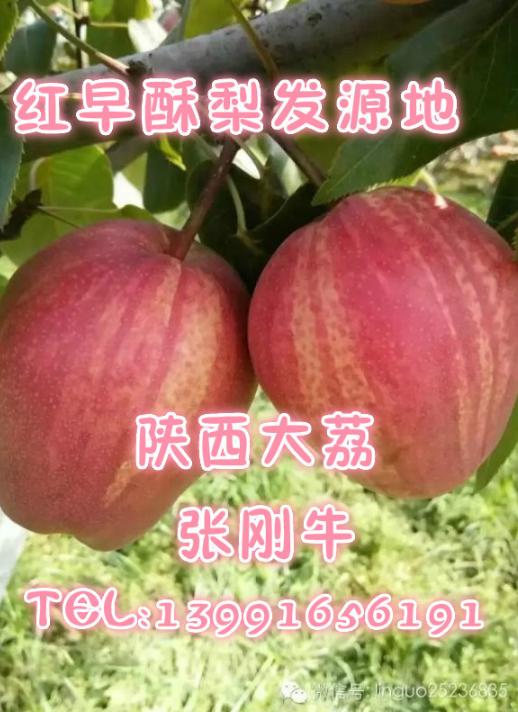陕西红早酥梨苗 红梨树苗发源地 2-3年结果 易丰产 稳产