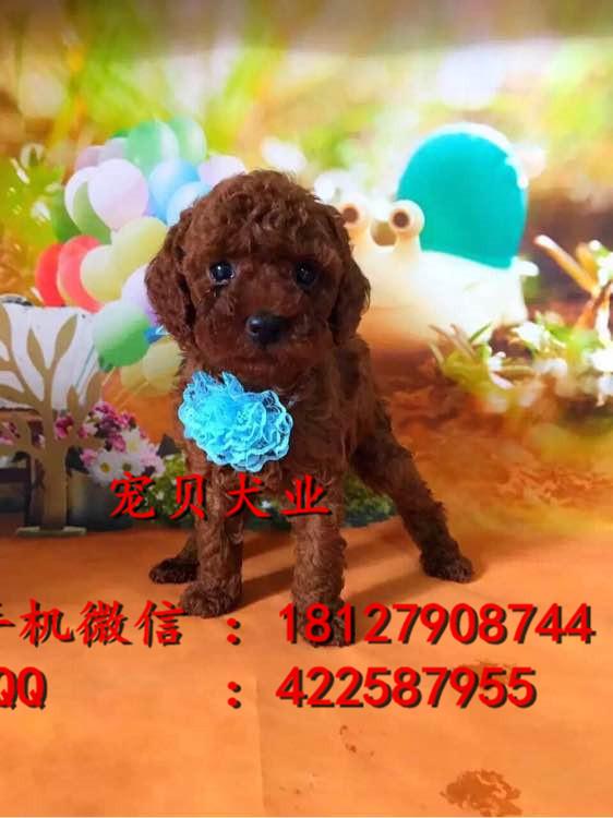 广州纯种泰迪熊幼犬泰迪熊价格泰迪熊多少钱