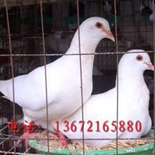 肉鸽养殖场电话批发