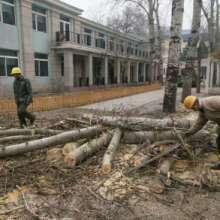 广州专业砍树 学校园区专业砍树团队 寻找砍树工程团队 专业砍树承包图片