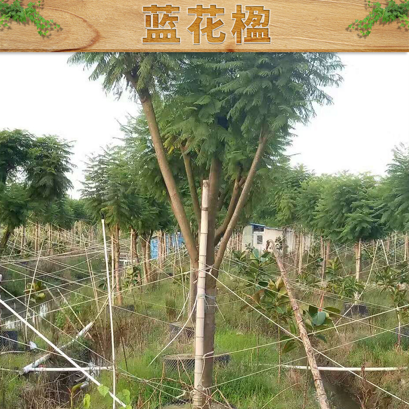 林木种子蓝花楹供应商                供应九江雪松小叶榕铁刀木种子