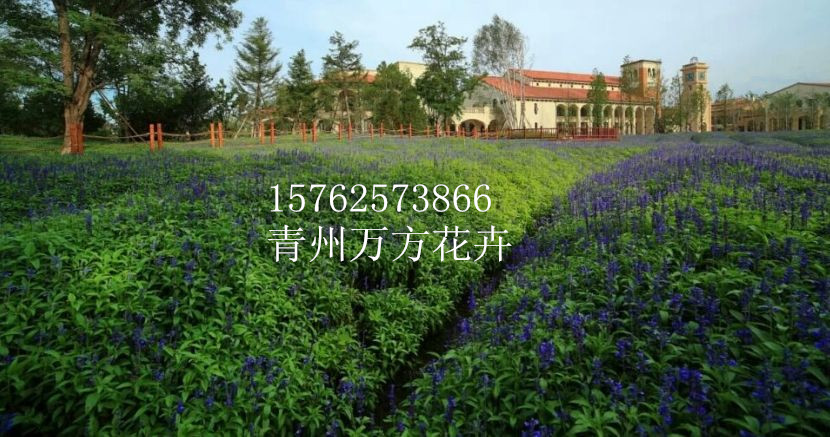 福建鼠尾草种值园 鼠尾草基地长期供应商(推荐)-万方花卉