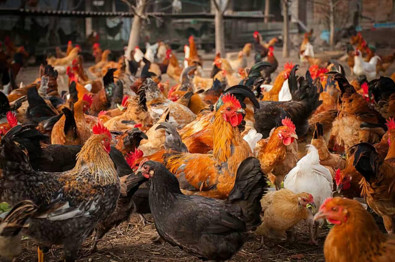 农家果园散养一年龄柴鸡公鸡肉质鲜美散养土鸡 散养柴鸡