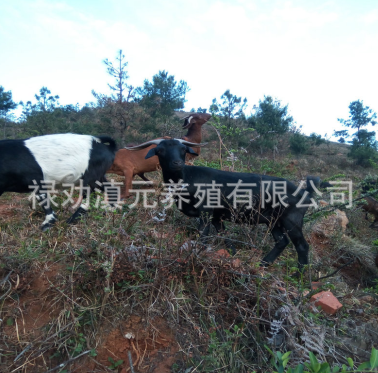 云南滇元养殖场供应努比亚羊 纯种养殖家畜家禽努比亚羊 云南努比亚羊