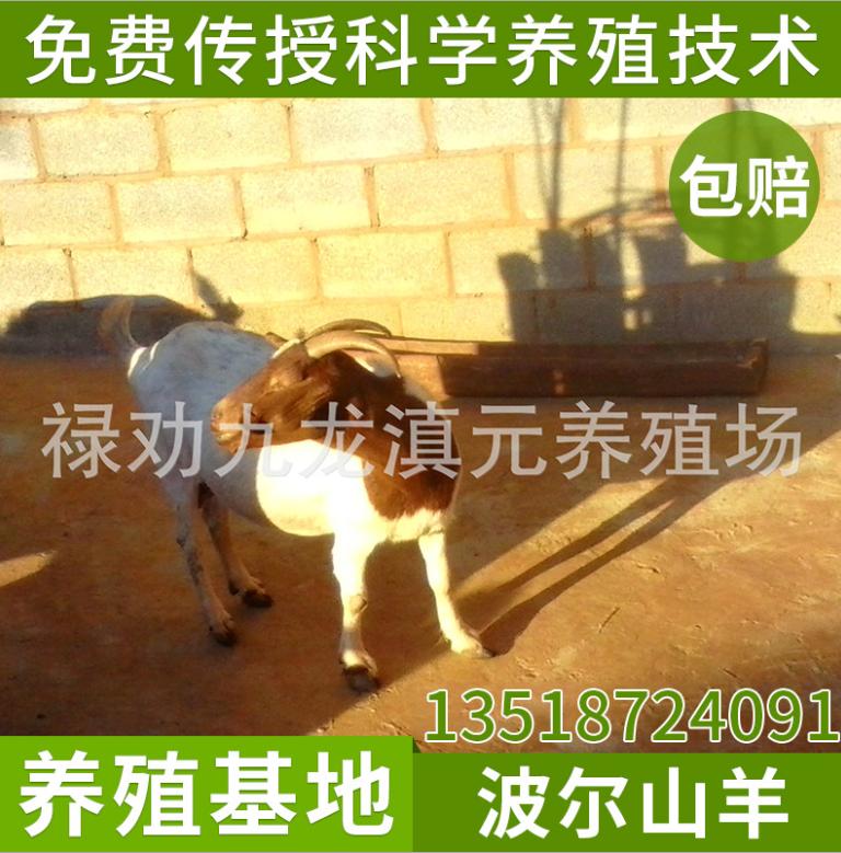 云南纯种波尔羊养殖场 纯种波尔山羊种羊母羊 波尔山羊羊羔价格