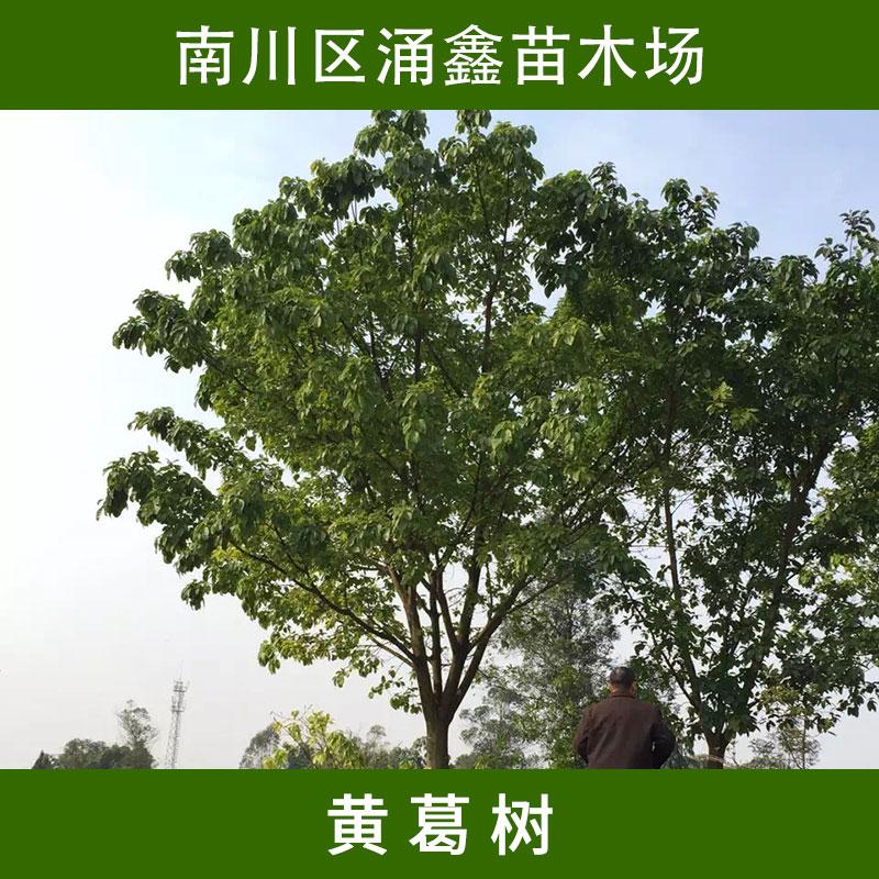 落叶乔木黄葛树苗木 寺庙绿化美化树多年生黄桷树/大叶榕树苗木批发